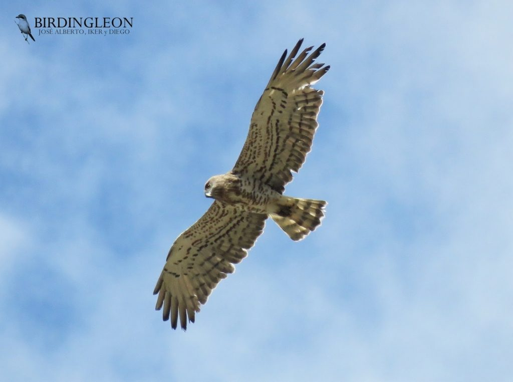 Short-toed snake eagle by Birding León